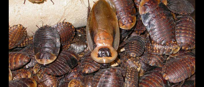 Discoid Roach