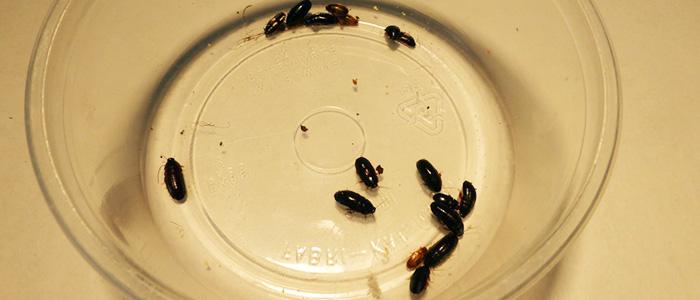 Kenyan Roaches