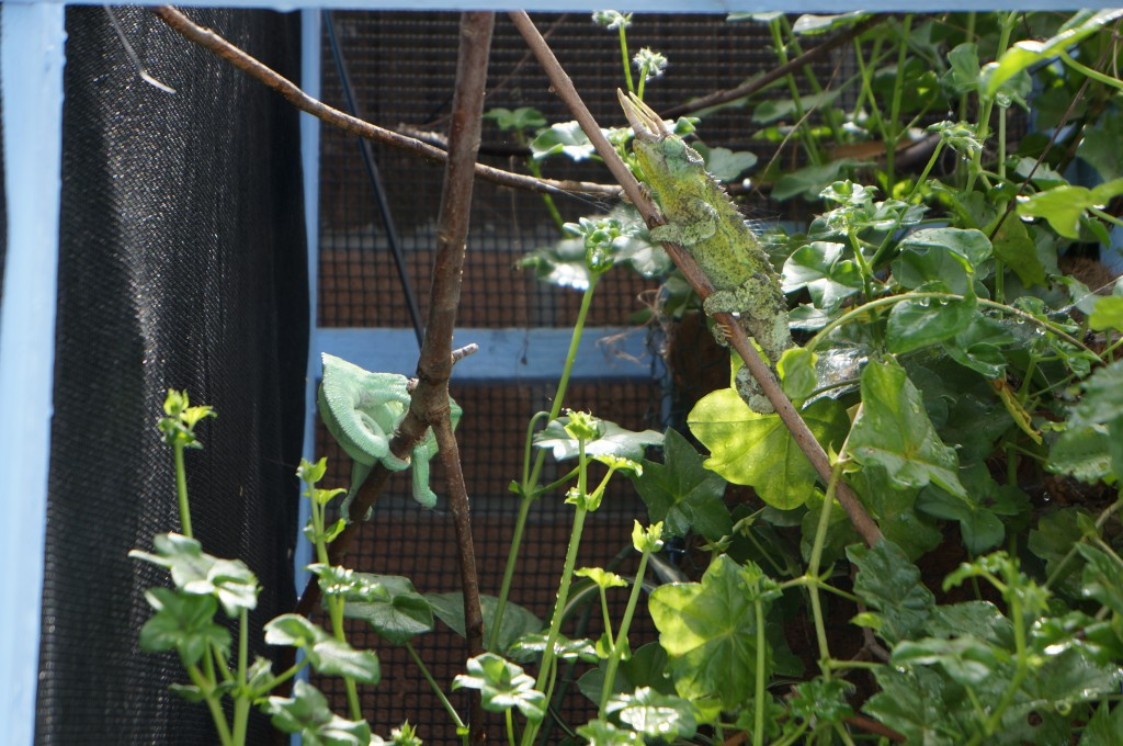 jacksons chameleons in outdoor cage