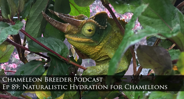 Jacksons Chameleon and chameleon hydration