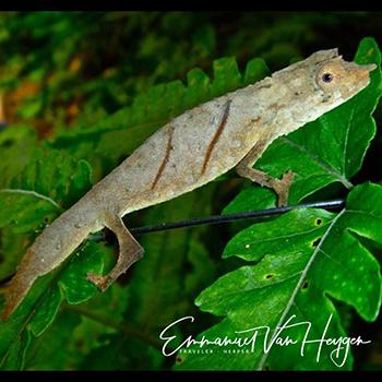 pygmy chameleon