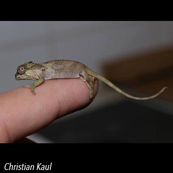 Hatchling Kinyongia xenorhina