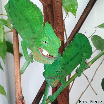 female trioceros cristatus chameleon