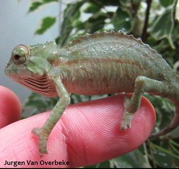 trioceros cristatus chameleon baby