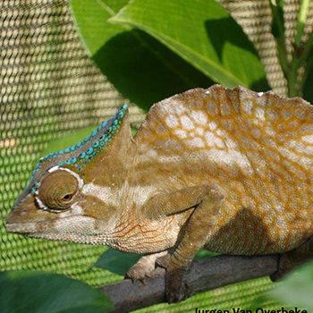 male trioceros cristatus chameleon