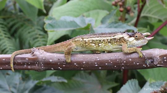Trioceros fuelleborni chameleon