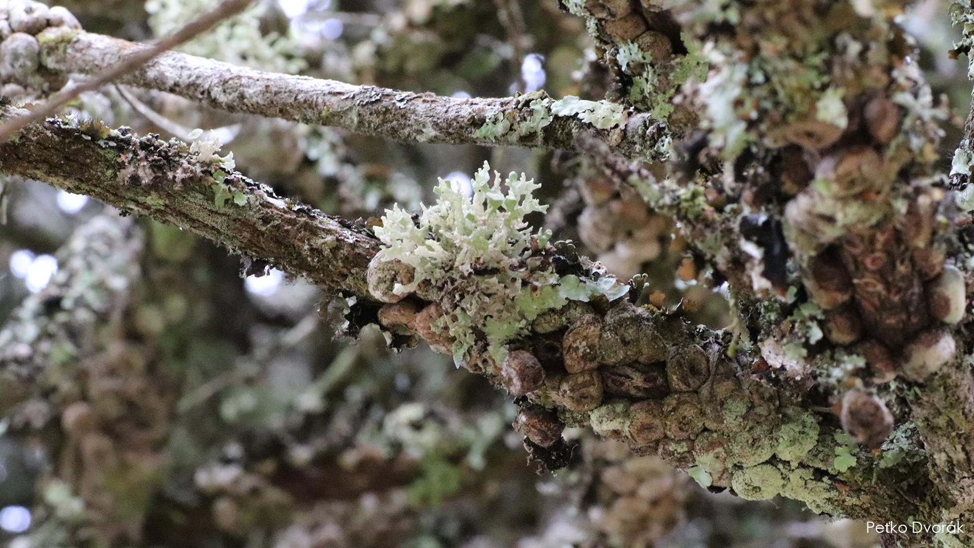 T laterispinis habitat