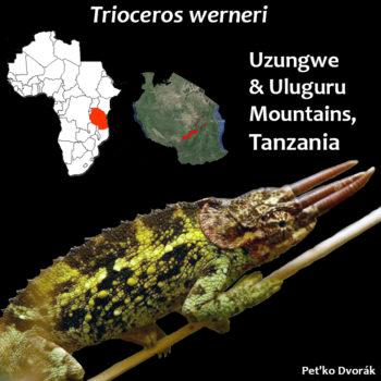 Trioceros werneri