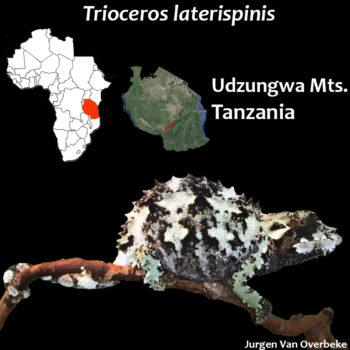 Trioceros laterispinis