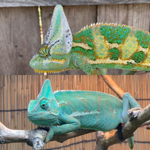 male and female veiled chameleon