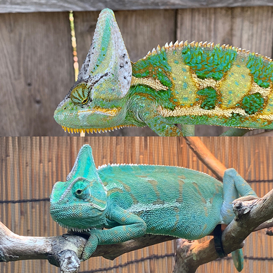 male and female veiled chameleon