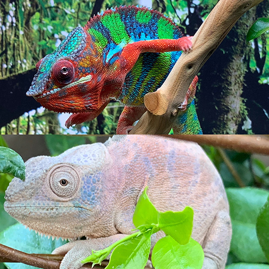 male and female panther chameleons