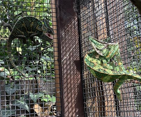 veiled chameleons