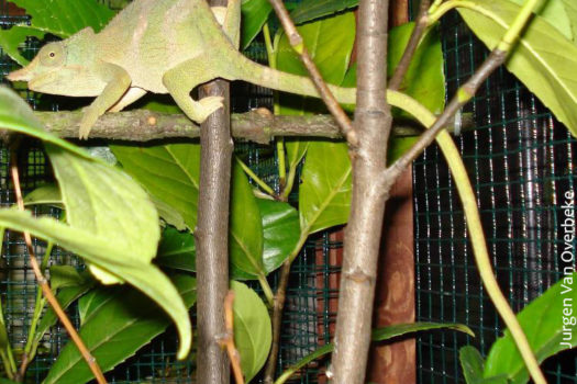 Kinyongia matschiei chameleon adult female