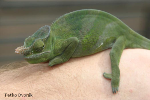 Kinyongia matschiei chameleon young male