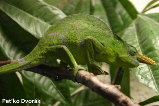 Kinyongia matschiei chameleon adult male