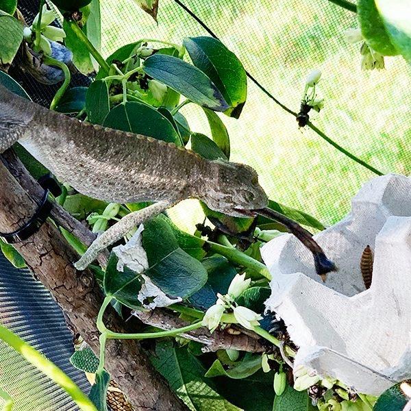 chameleon eating branch