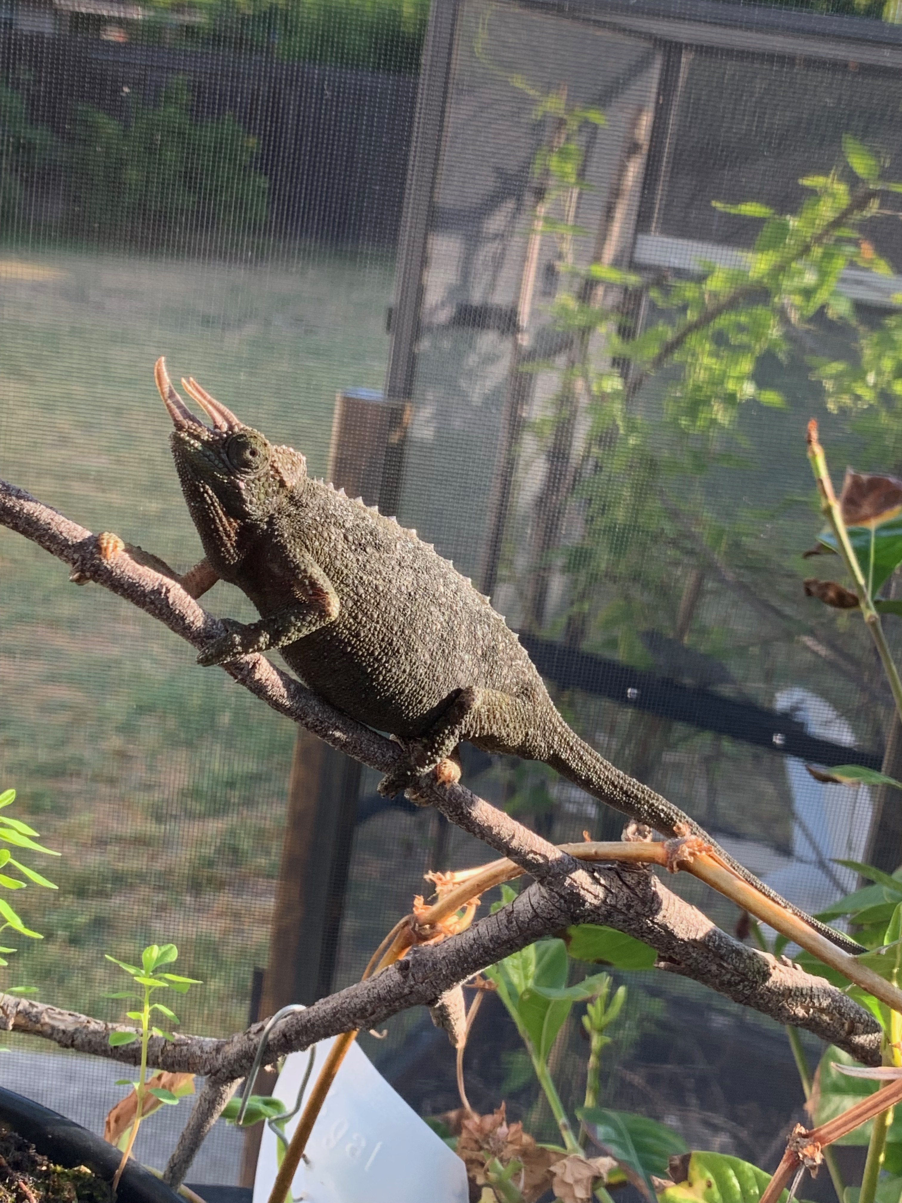chameleon perching branch