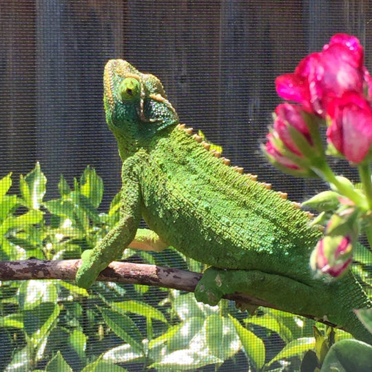 female jacksons chameleon showing respiratory infection symptoms