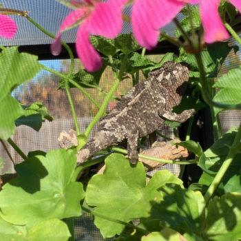 basking chameleon