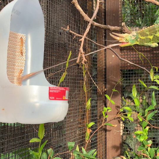 chameleon eating from feeder run cup