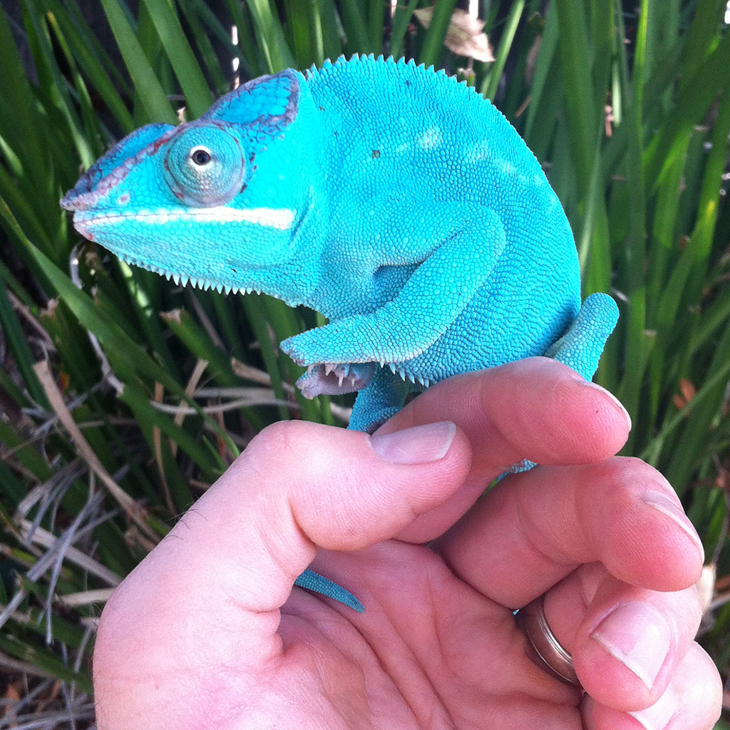 Blue Phase Nosy Be Panther Chameleon
