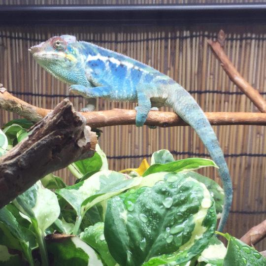 panther chameleon basking