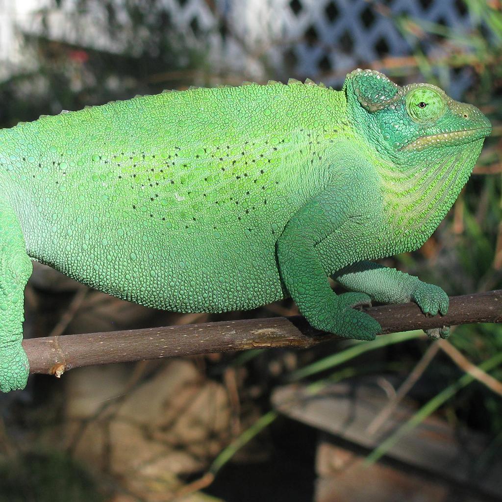 Basking Jacksons Chameleon