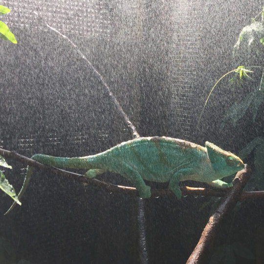 female parsons chameleon in the rain