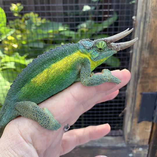 Machakos Hills Jackson's Chameleon