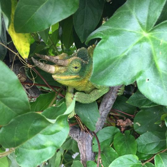 Jacksons Chameleon hiding