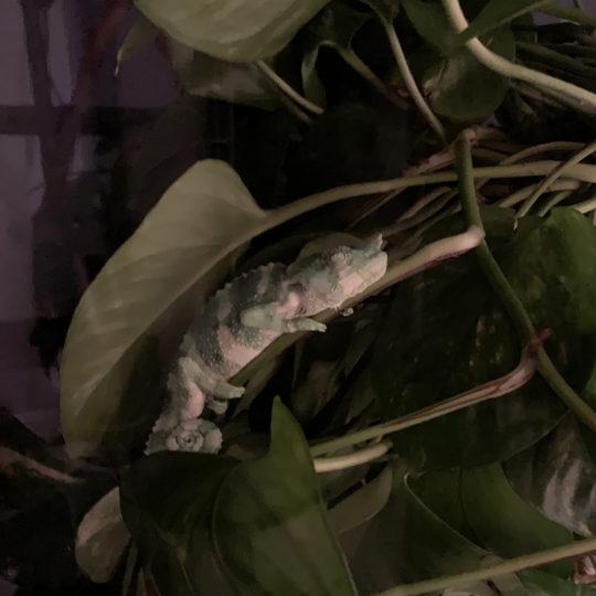 Meller's Chameleon sleeping