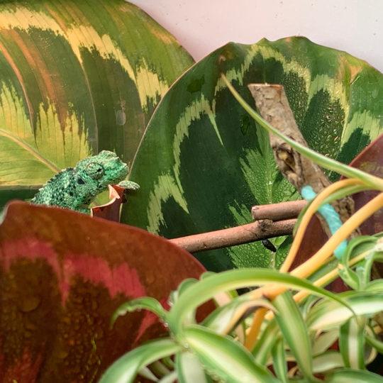 Mellers Chameleon baby