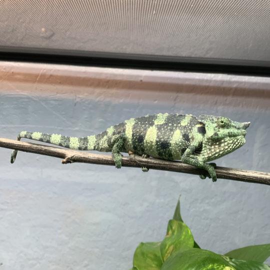 Meller's Chameleon Juvenile