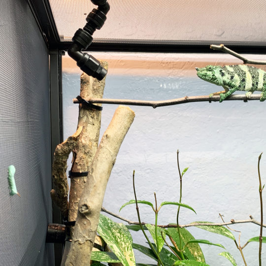 Mellers Chameleon eating hornworm