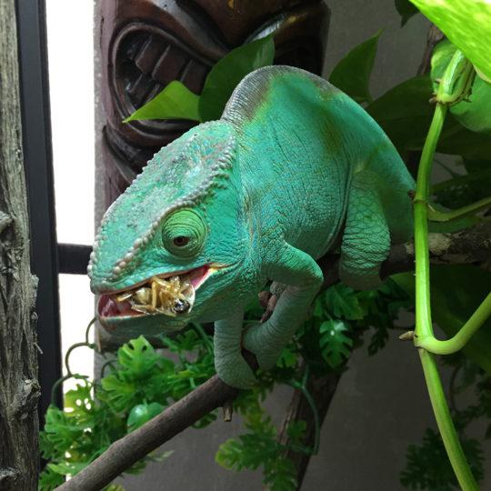 Parson's Chameleon Eating