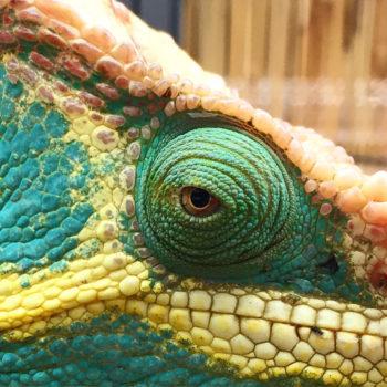 parsons chameleon eye