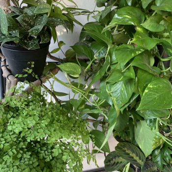 plants for chameleon cage
