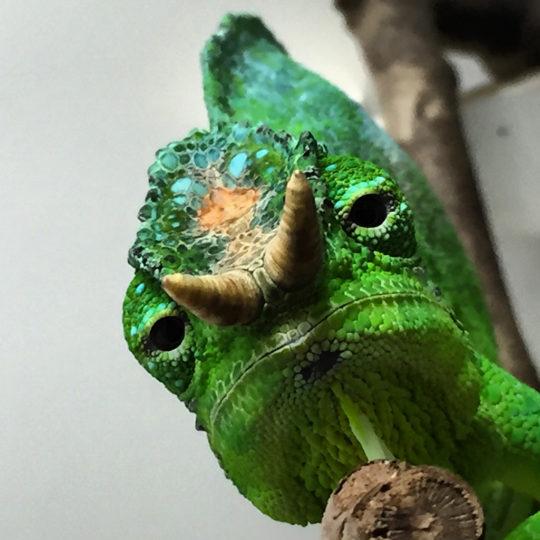 quadricornis chameleon
