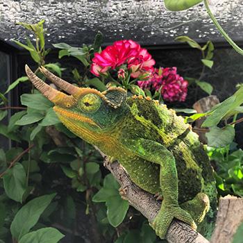 male Jackson's Chameleon