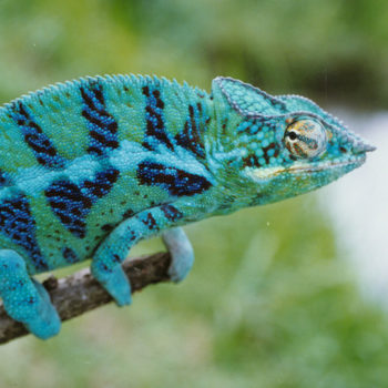 Panther chameleon with healthy casque