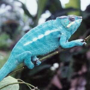 Blue Panther Chameleon