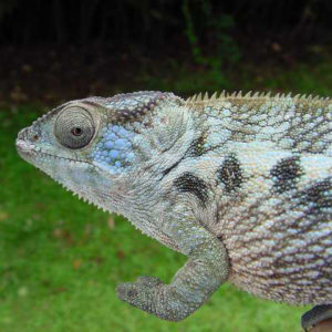 Female Nosy Be Panther Chameleon