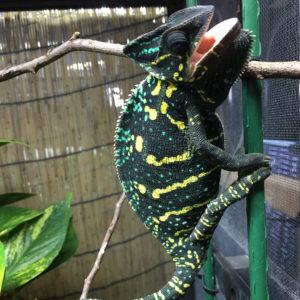 gravid colors for veiled chameleon