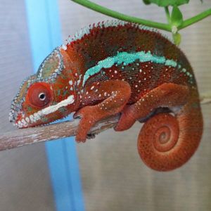Red Ambilobe Panther Chameleon