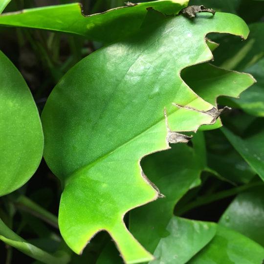 Veiled chameleon eating leaves