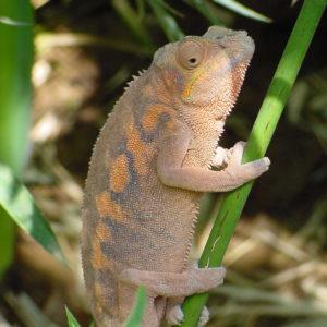 Female Ambanja Panther Chameleon