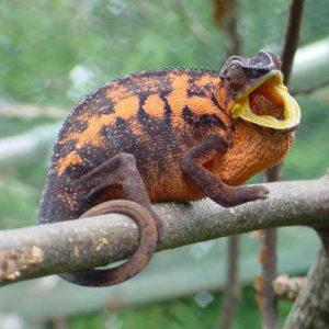 Gravid Ambanja Panther Chameleon