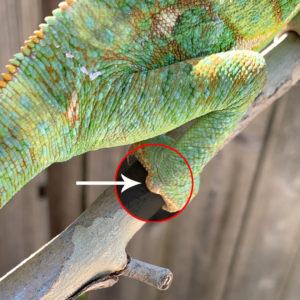 Veiled Chameleon male with tarsal spur