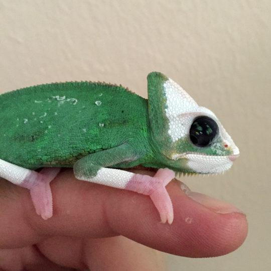 Transluscent Veiled Chameleon